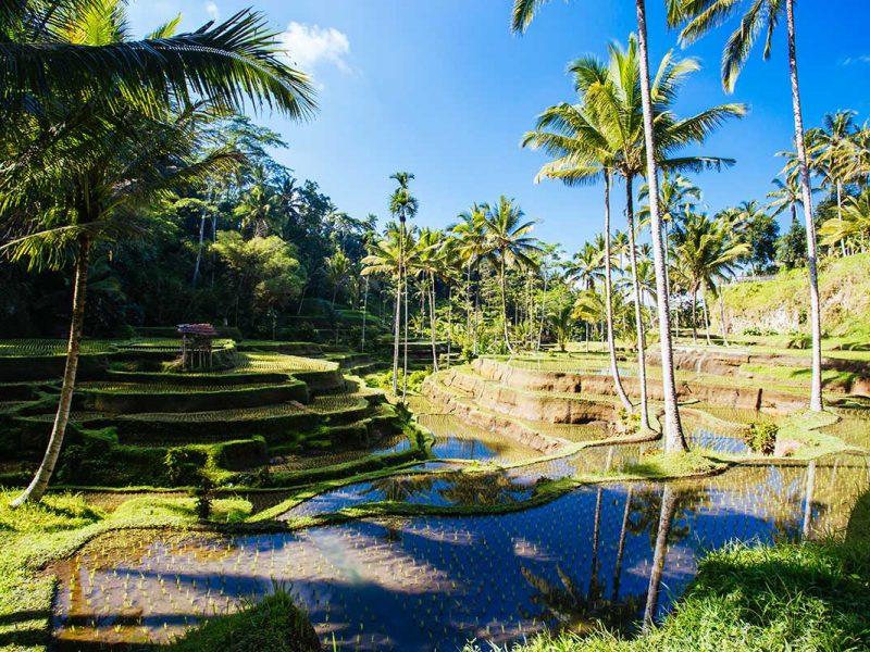 rice-fields-near-ubud-bali-indonesia-small.jpg